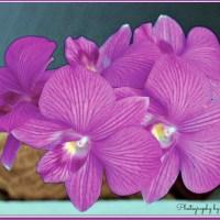 Queen Pink Purple Dendrobium