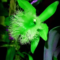 Green Bearded Orchid
