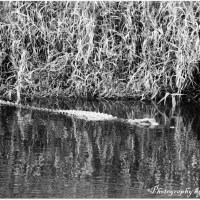 Alligator in the Marsh - Black and White