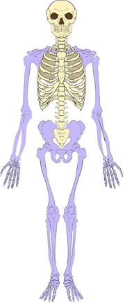 Appendicular Skeleton Isaiah's Anatomy Website