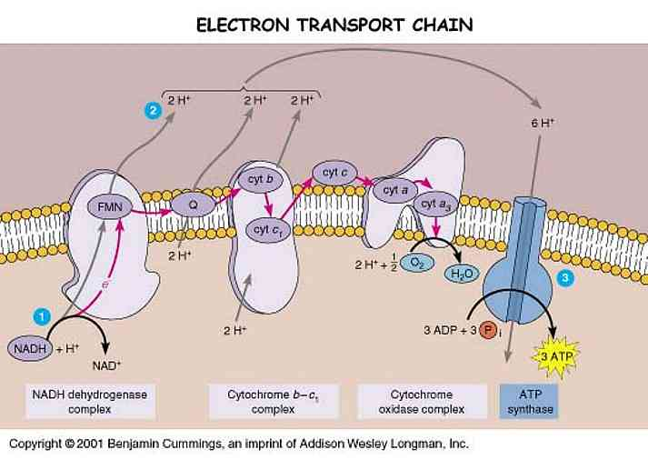 electron transport chain diagram for dummies kenwood wiring harness animalcellbiology showing clearly the atp synthase at work click on image credit