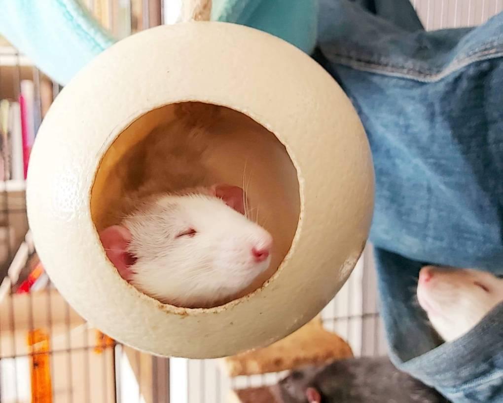 Een rat die slaapt in een ei van egg dreamer.