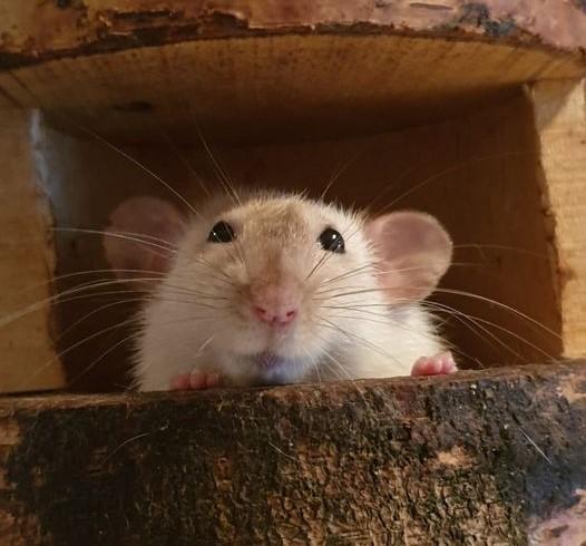 oogkleuren bij ratten