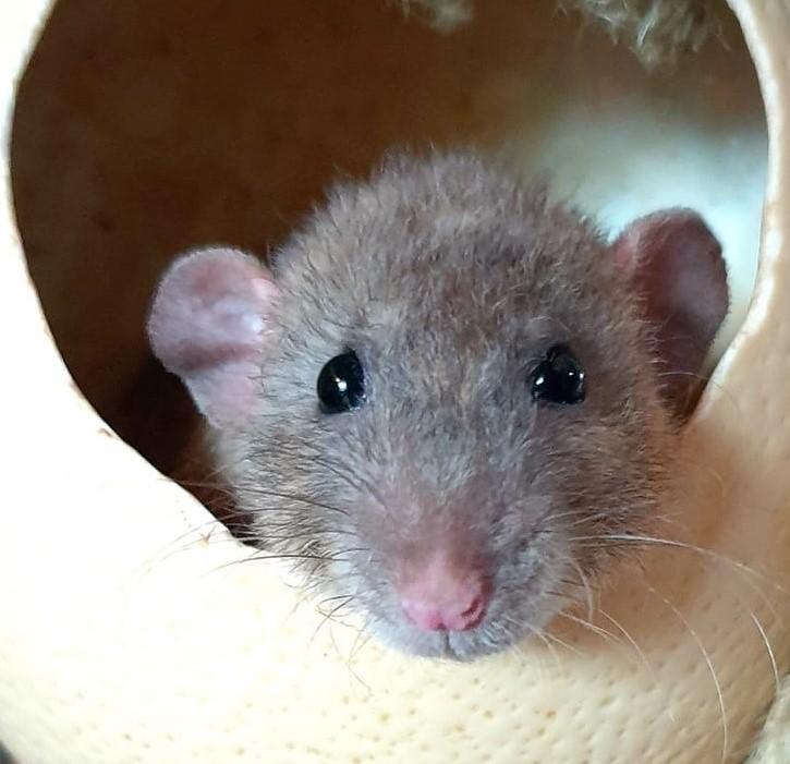 koppeling van ratten