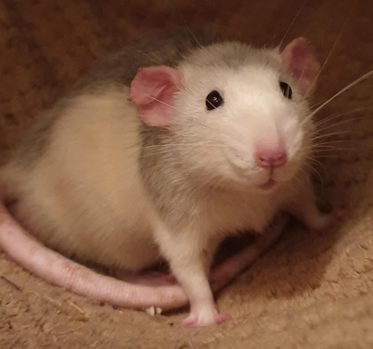 oorstanden bij ratten