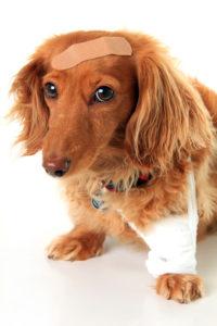 chien avec des pansements