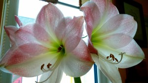 Amaryllis at my Mum's house.