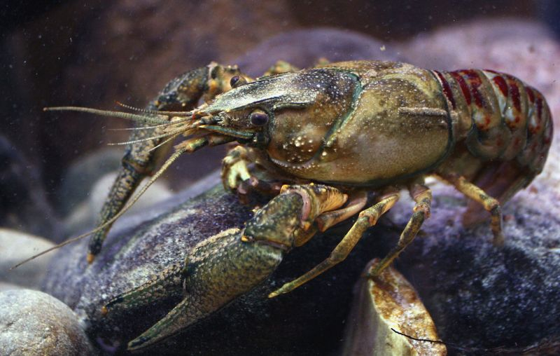1280px-Kamberkrebs_spiny-cheek_crayfish_Orconectes_limosus_male