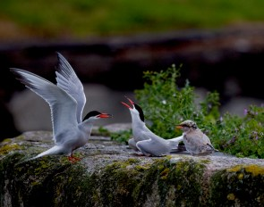 G7_Common Tern_Shay Connolly