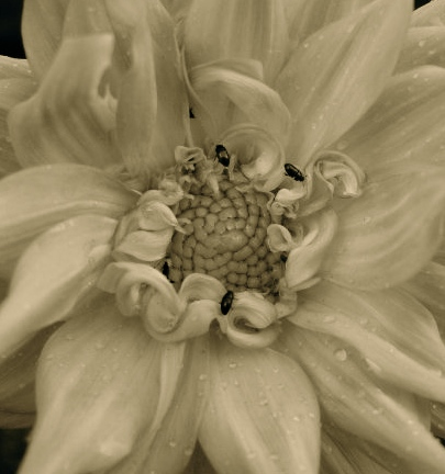 Dahlia, grown from seed