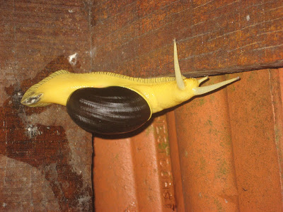 Vythiri Resorts land snail