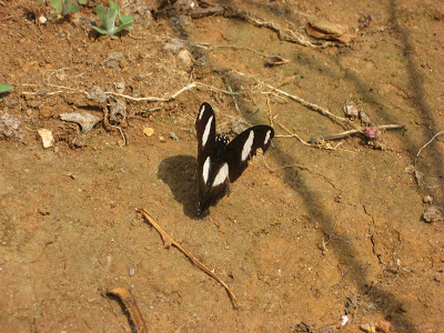 Yercaud butterfly