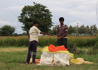 Marigold Fields of Karnataka