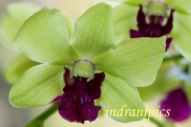 Yellow Green Dendrobium close up