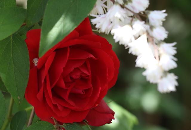 Alhambra Gardens read rose