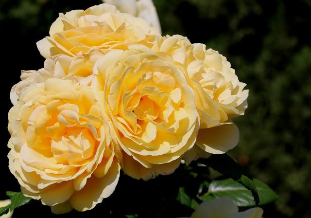 Alhambra Gardens yellow roses