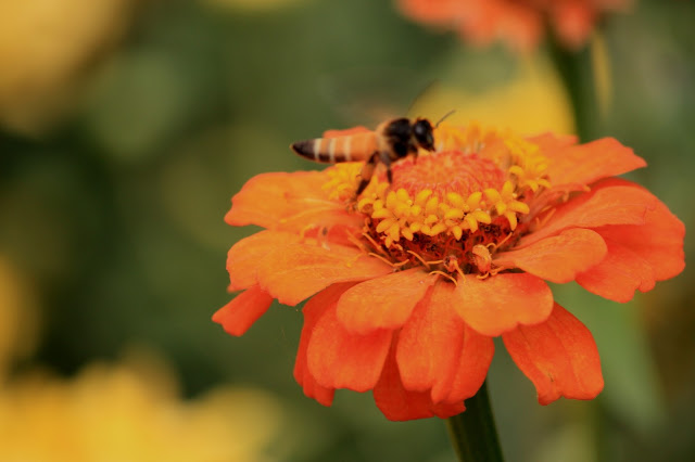 wordless zinnia orange