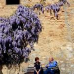 wordless wisteria flowers