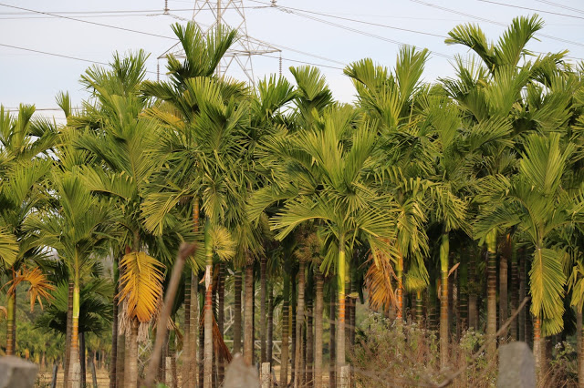 arecanut-cultivation