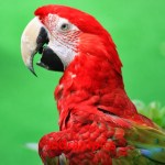 macaw-wordless