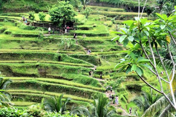 Must do things in Bali - Rice Terraces Bali