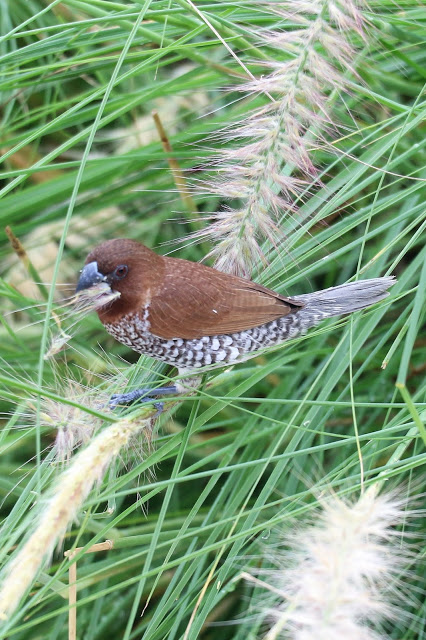 Spice Finch Scaly breasted Munia