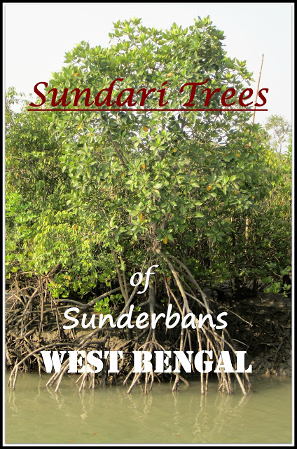 Sundari Trees of Sunderbans West Bengal