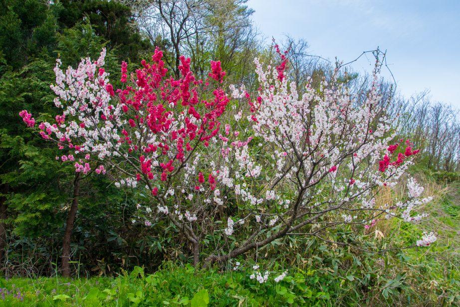 通勤途中に咲く花桃