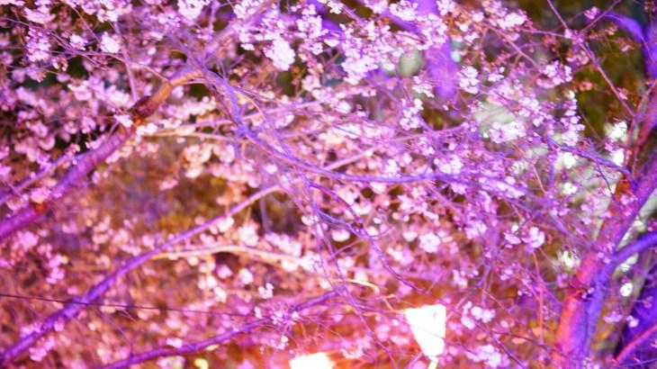 今更お花見のブログと近況報告