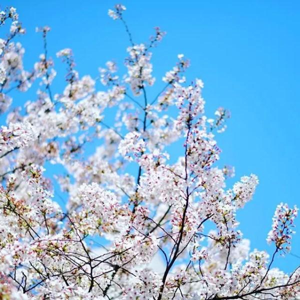 今年唯一のお花見。中目黒は桜もすごいけど人もスゴイ٩( 'ω' )و#nakameguro #お花見 #中目黒 #桜 #cerryblossom #light_nikon (by Instagram)