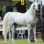 Azizaa Egyptian Arabians Llc Egyptian Arabian Foundation Stallions R Z