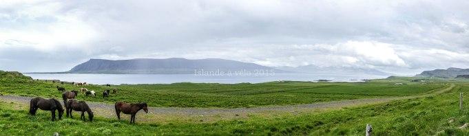 voyage à vélo en Islande, chevaux
