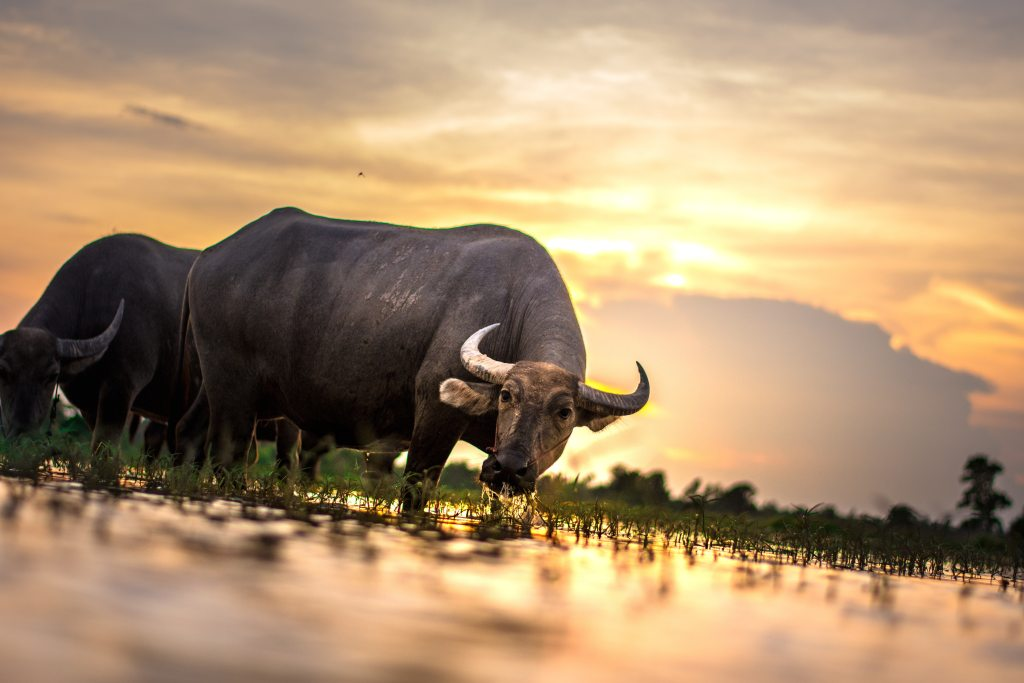 Photo of water buffalos