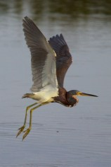 great blue heron 001
