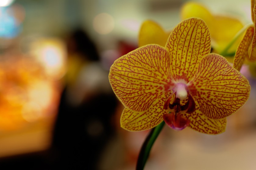 Day 9 of 365 : Orchid 20110109 DSC 5103  1 920x611