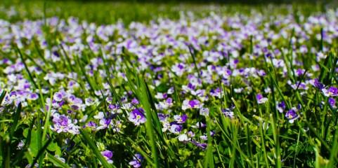 purple, image, spring, flowers, grass