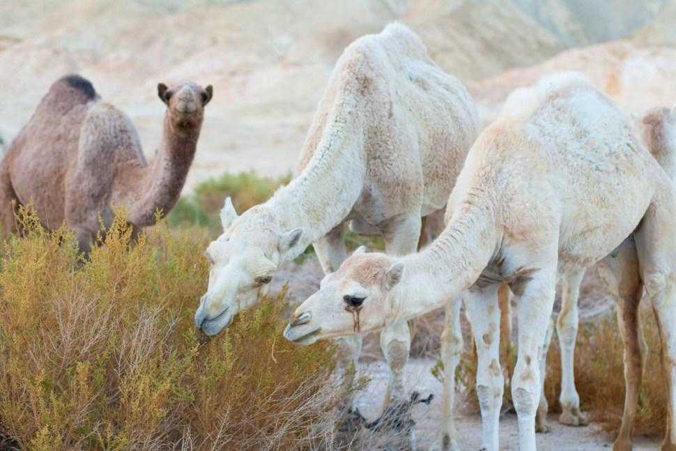Camels, Perl, Programming