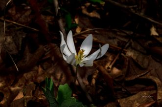 An early spring flower - Bloodroot or Sanguinaria canadensis - with showy, large blooms and interesting foliage. Usually found growing on slopes in rich forests, sometimes along Sourlands roadsides near forest. Pollinated by native bees and flies, seeds dispersed by forest ants.