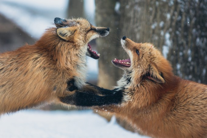 Foxes, Fighting, Animals