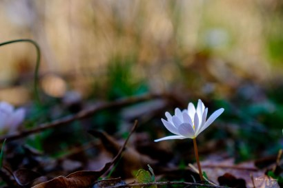 Bloodroot (Sanguinaria canadensis) | 26 March, 2020 | FujiFilm X-T2 | Fujinon XF16-55mmF2.8 R LM WR | f/4.0 | ISO 400