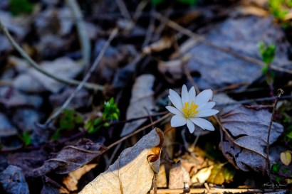 Bloodroot (Sanguinaria canadensis) | 26 March, 2020 | FujiFilm X-T2 | Fujinon XF16-55mmF2.8 R LM WR | f/4.0 | ISO 500