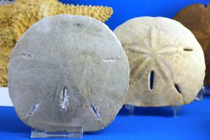 How to Find Sand Dollars