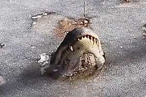 Video: Ocean Isle Beach Alligators