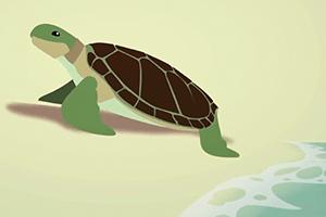Sea Turtle Laying Eggs Video