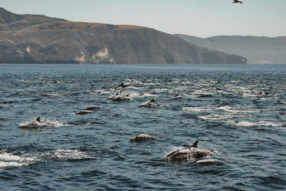A Pod of Common Dolphins near Santa Cruz Island