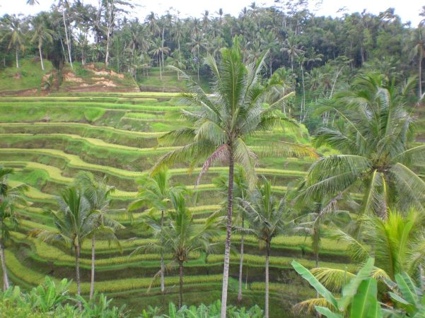 Rice Paddy Fields, Bali, Indonesia