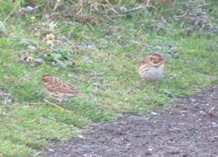 Two togther (unringed) Andy Denton