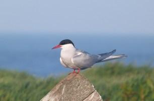 arctic-tern-ds