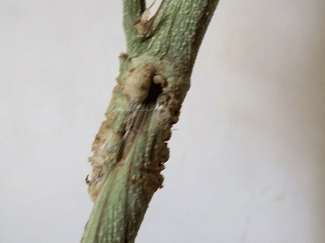 , Grafting Cannabis: Multiple Strains on One Plant