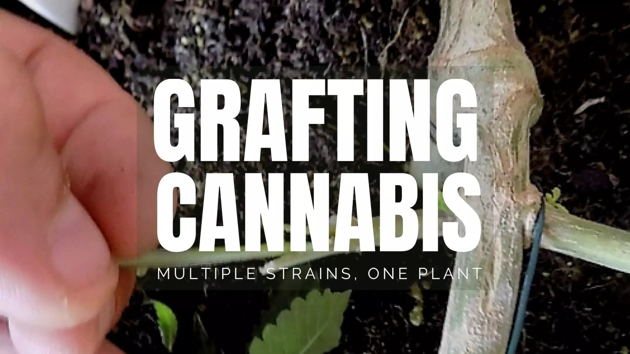cannabis grafting cannabis